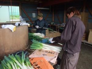 ネギの収穫作業